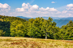 Beech forest on grassy meadow in high mountains. Lovely autumnal scene in fine weather afternoon Royalty Free Stock Photo