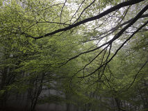 Beech forest. Royalty Free Stock Image