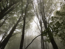 Beech forest. Royalty Free Stock Photo