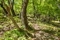 Beech forest and hiking trail Stock Photos
