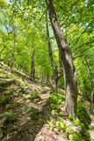 Beech forest and hiking trail Stock Photography