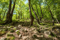 Beech forest and hiking trail Royalty Free Stock Images