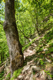 Beech forest and hiking trail Royalty Free Stock Photo