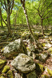 Beech forest and hiking trail Royalty Free Stock Image