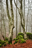 Beech forest III Royalty Free Stock Image