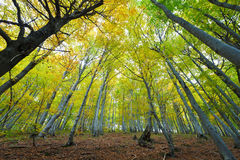 Beech forest illuminated by the sun. Low and wide angle viewAurochs family - male, female and cub royalty free stock image