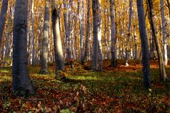 Beech Forest In Autumn Stock Image
