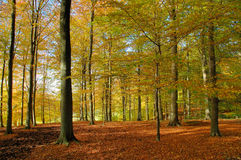 Free Beech Forest In Autumn Royalty Free Stock Photography - 4088037