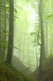 Beech Forest In The Summer After The Storm Stock Photography