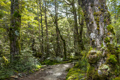 Beech forest on Kepler Track Stock Image