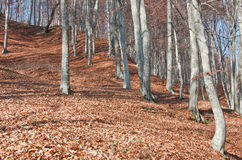 Beech forest landscape Royalty Free Stock Images