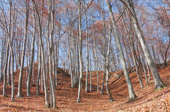 Beech forest landscape. In an autumn day Royalty Free Stock Photos