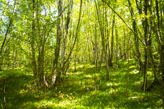 Beech forest late summer Stock Photography