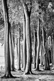 Beech Forest in monochrome Stock Photography