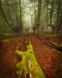 Beech forest in natural Gorbea park. In Euskadi royalty free stock photo