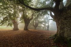 Beech forest in natural Gorbea park. In Euskadi royalty free stock photography