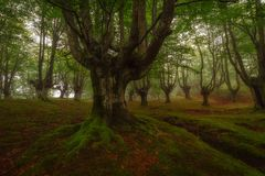 Beech forest in natural Gorbea park. In Euskadi stock images