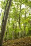 Beech Forest Stock Photos