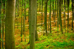 Beech forest near Rzeszow, Poland Stock Photography