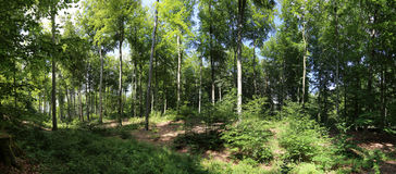 Beech forest panorama Royalty Free Stock Photos