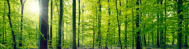 Beech forest panorama landscape Stock Photos