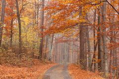 Beech forest path Royalty Free Stock Images