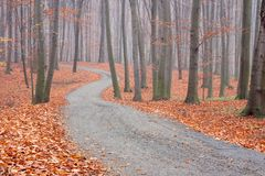 Beech forest path Stock Photo