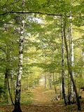 Beech forest path in autumn Royalty Free Stock Images