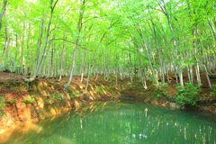 Beech forest and pond Stock Photos