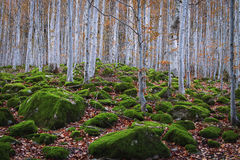 Beech forest between rocks with moss in autumn Stock Photos