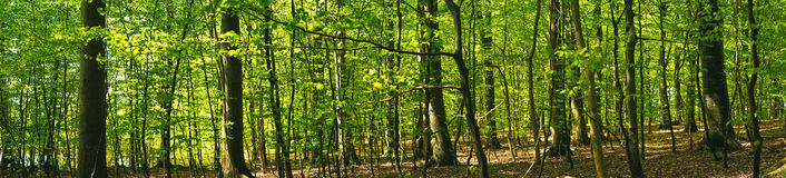 Beech forest scenery in panorama Royalty Free Stock Photo