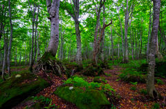 Beech forest, Shirakami Sanchi, Japan. Royalty Free Stock Images