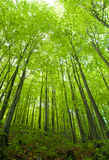 Beech forest in spring Royalty Free Stock Photography