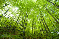 Beech forest in spring Stock Image