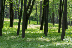 Beech forest in spring Royalty Free Stock Images