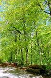 Beech forest in spring. With red fence and logs in front Stock Photo