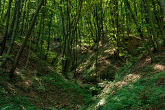 Beech forest at spring Royalty Free Stock Images