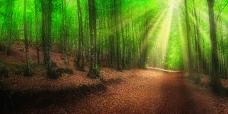 Beech forest in spring with sun rays. Panorama of beech forest in spring with sun rays stock image