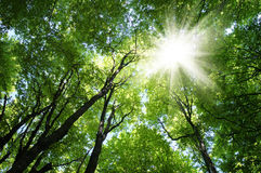 Sunrays in trees Stock Images