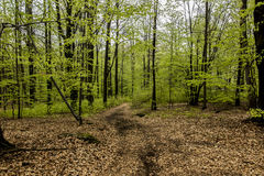 Beech forest in spring with young,  leaves as a background Stock Images