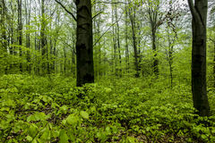 Beech forest in spring with young,  leaves as a background Royalty Free Stock Photo
