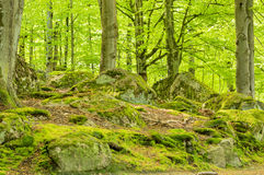 Beech forest. In springtime. Granite boulders covered with moss and lichens all over the ground. A very green but natural picture of nature Royalty Free Stock Image