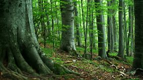 Beech forest stock video