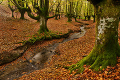 Beech forest and stream. Small stream surrounded by mossy beech trees and fallen leaves Stock Photo