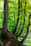 Beech forest in summer. Lovely nature scenery with green foliage Royalty Free Stock Image