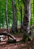 Beech forest in summer. Lovely nature scenery with green foliage Royalty Free Stock Photo