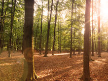 Beech forest with sun beam Royalty Free Stock Photos
