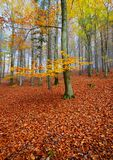 In beech forest. Sunday morning in the golden autumn beech forest Stock Images