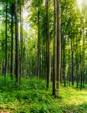 Beech forest on a sunny day. Lovely nature scenery with tall trees. warm sunlight through spring green foliage royalty free stock image