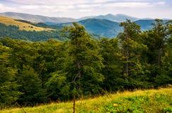 Beech forest of the Svydovets mountain ridge. Beautiful summer landscape of Carpathians, Ukraine Stock Photos